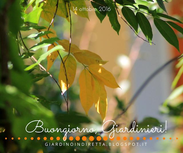 glicine (wisteria sinensis 'amethyst') - l'agenda del giardino e del giardiniere - un giardino in diretta