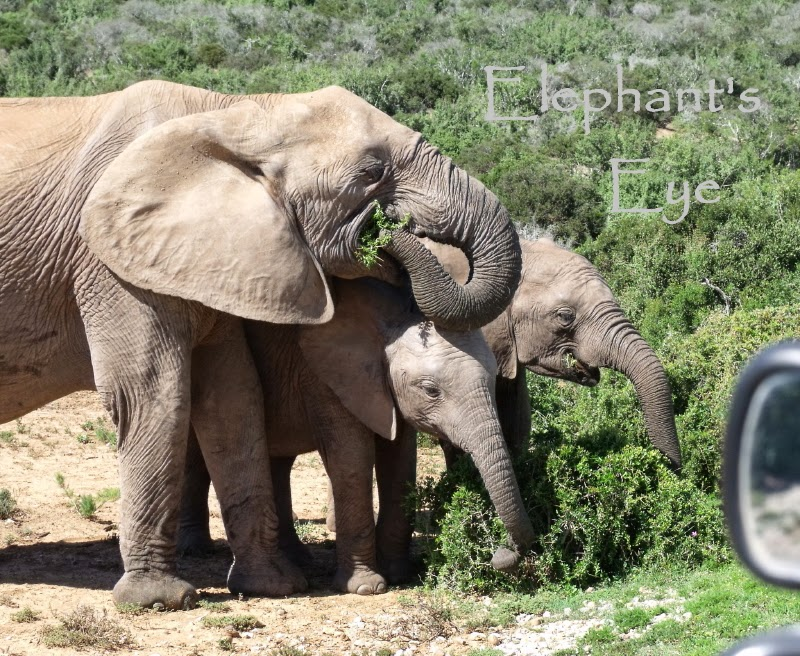 Addo elephants eating spekboom