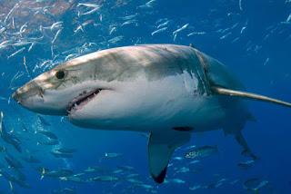 Establecen nuevas reglas para la observación del tiburón blanco