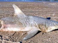 Misteri Ikan Hiu Tinggal Separuh Badan di Tepi Pantai