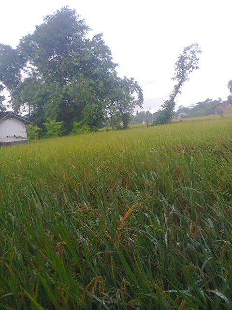 Tanaman Padi Desa Gempolan Pakel Tulungagung