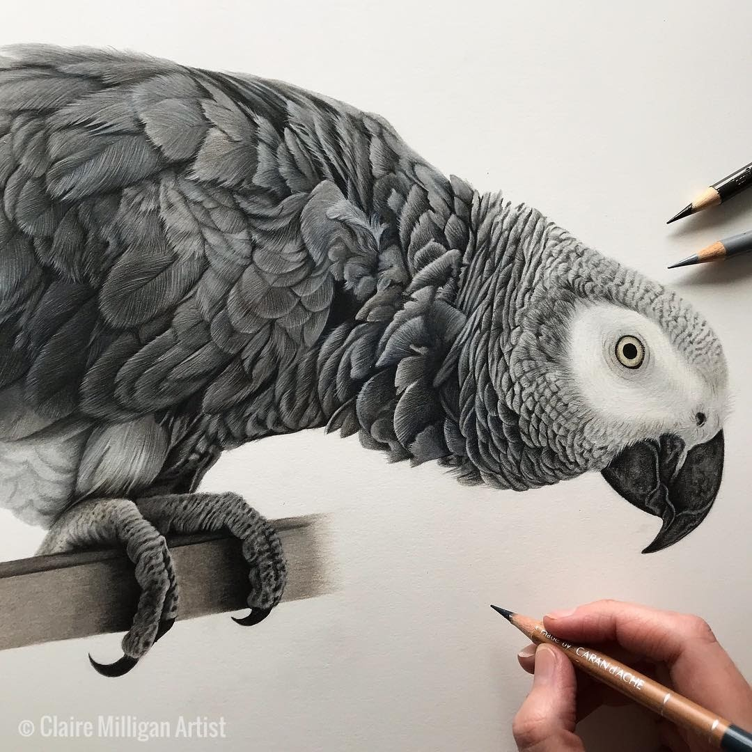 04-African-Grey-Parrot-Claire-Milligan-Cats-birds-and-Dogs-Realistic-Animal-Drawings-www-designstack-co