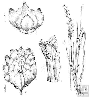 Briza (Chascolytrum subaristatum)