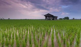 cara menanam padi ciherang
