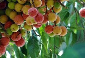 सदा जवान रहने का फार्मूला-  गूलर का फल( Fig keeps always young)s young) ayurvedlight.blogspot.in