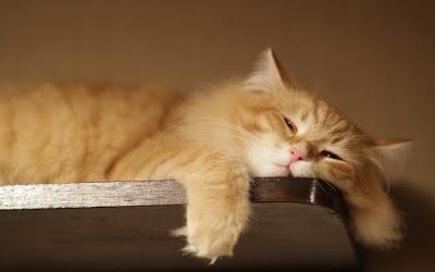 pisică leneșă