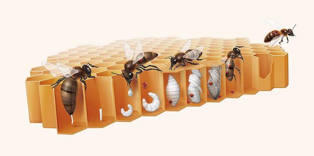 Siklus Hidup Lebah Madu Mulai Dari Telur Sampai Dewasa