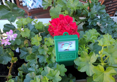 Moisture meter checking water needs of a geranium