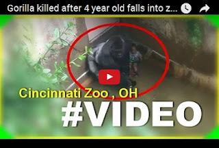 VIDEO HEBOH... Bocah 3 Tahun Jatuh ke Kandang Gorila, Begini Jadinya