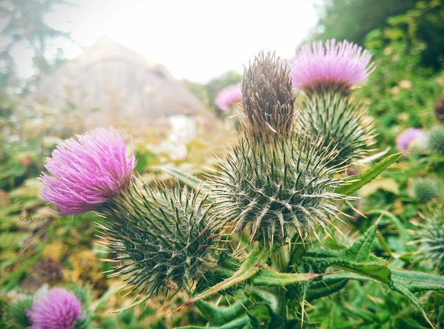 thistle image, purple flower