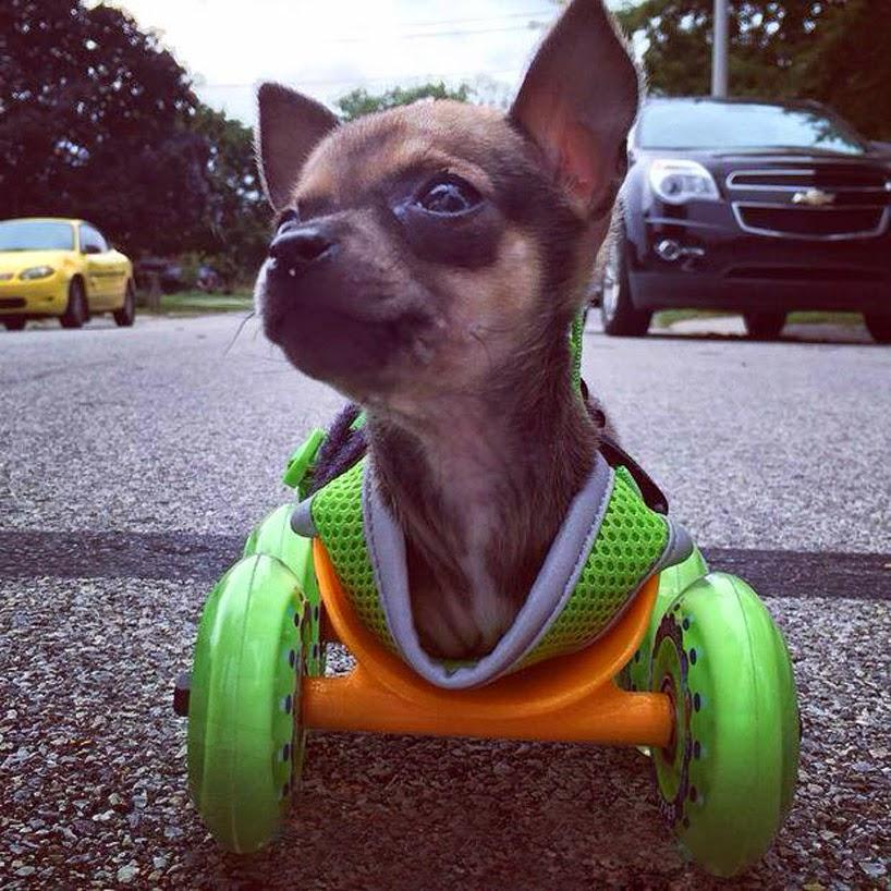cachorro chihuahua en dos paras