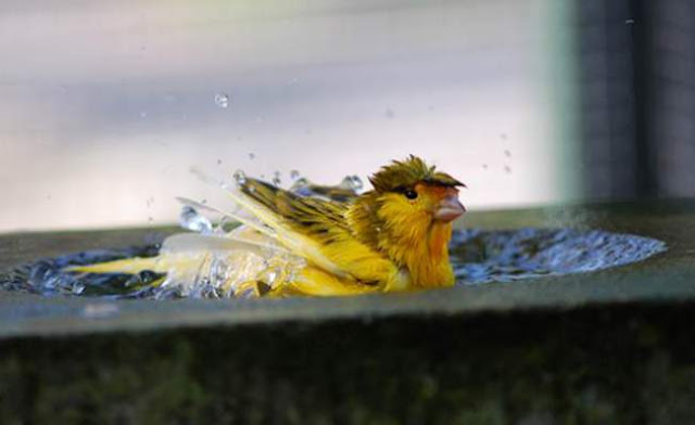 Pastikan air dalam sangkar dalam keadaan bersih