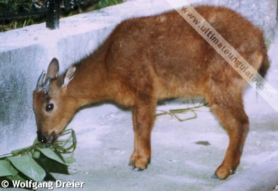 Red goral