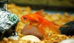 "Jenis Ikan koki Fantail "" Ekor Kipas "" kuning emas"