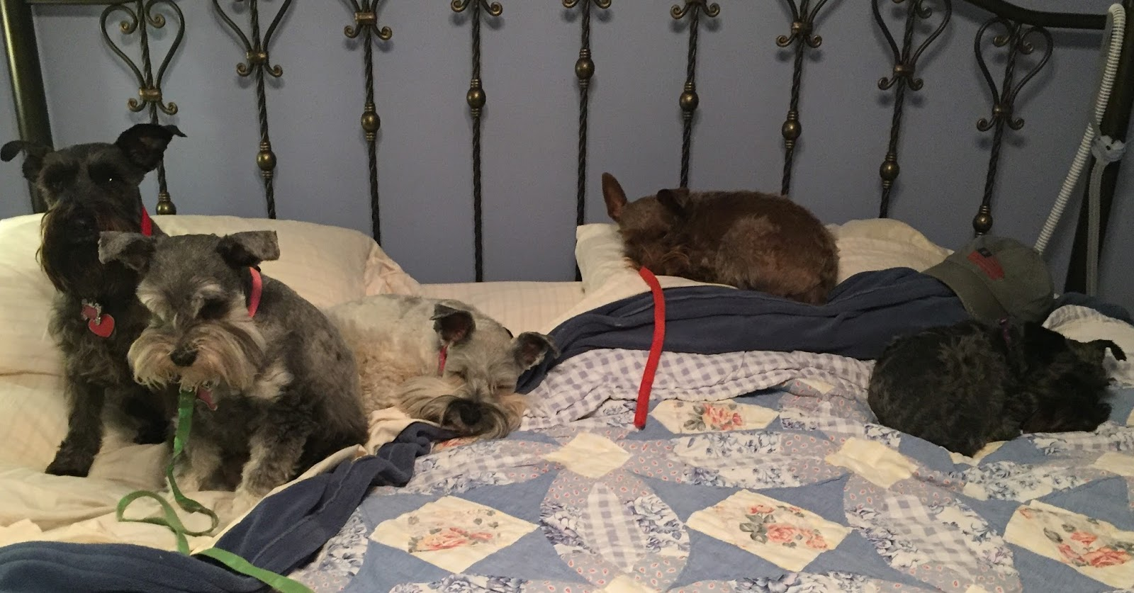My Schnauzer Addiction Should You Let Your Dog Sleep With