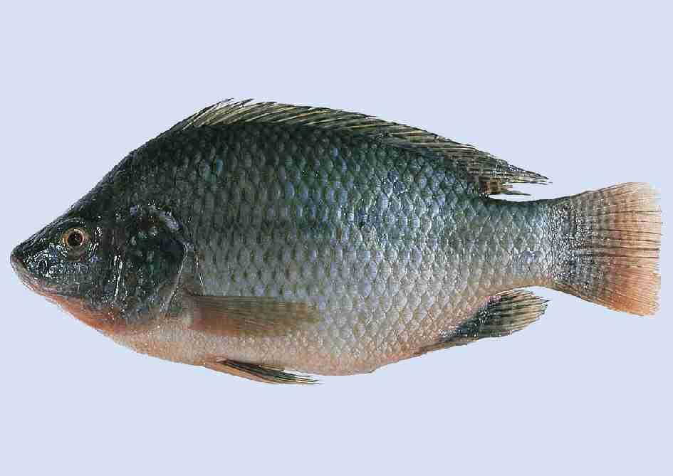 Gila Pancing: Kenali jenis Ikan Air Tawar/Air Masin