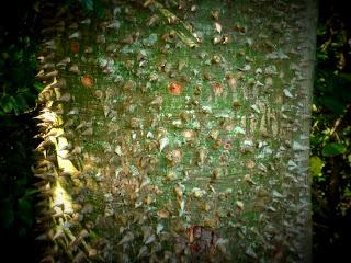 Paineira, no Ecoparque Sperry, Canela: Detalhe do Tronco com Espinhos