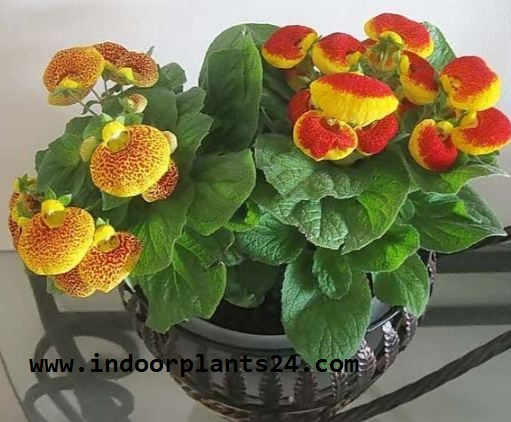 Calceolaria x Herbeohybrida indoor plant