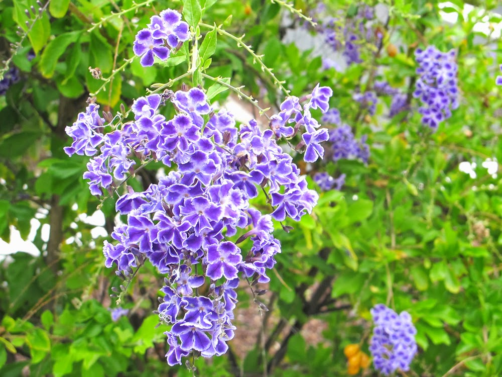 Purple flowers in Tenerife
