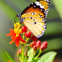 Milkweed - Monarch Butterfly