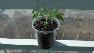 Индетерминантные помидоры через три недели после посева