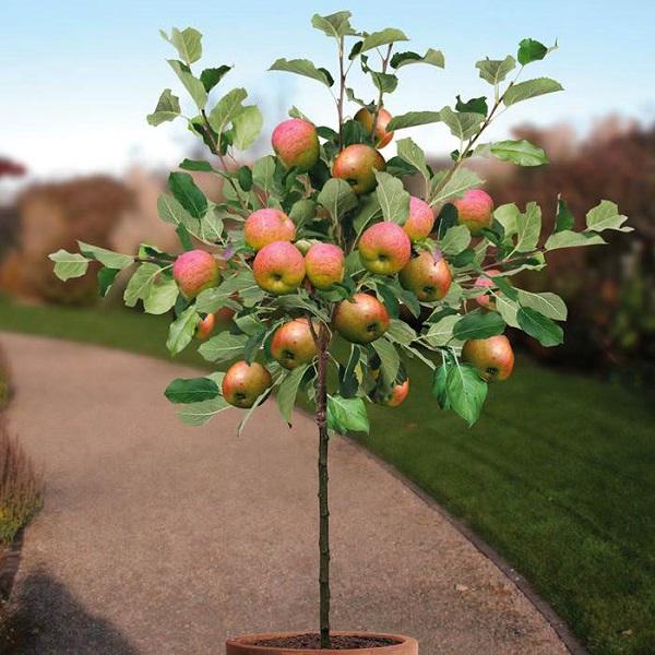 http://tipspetani.blogspot.com/2017/10/cara-menanam-apel-pada-media-pot.html