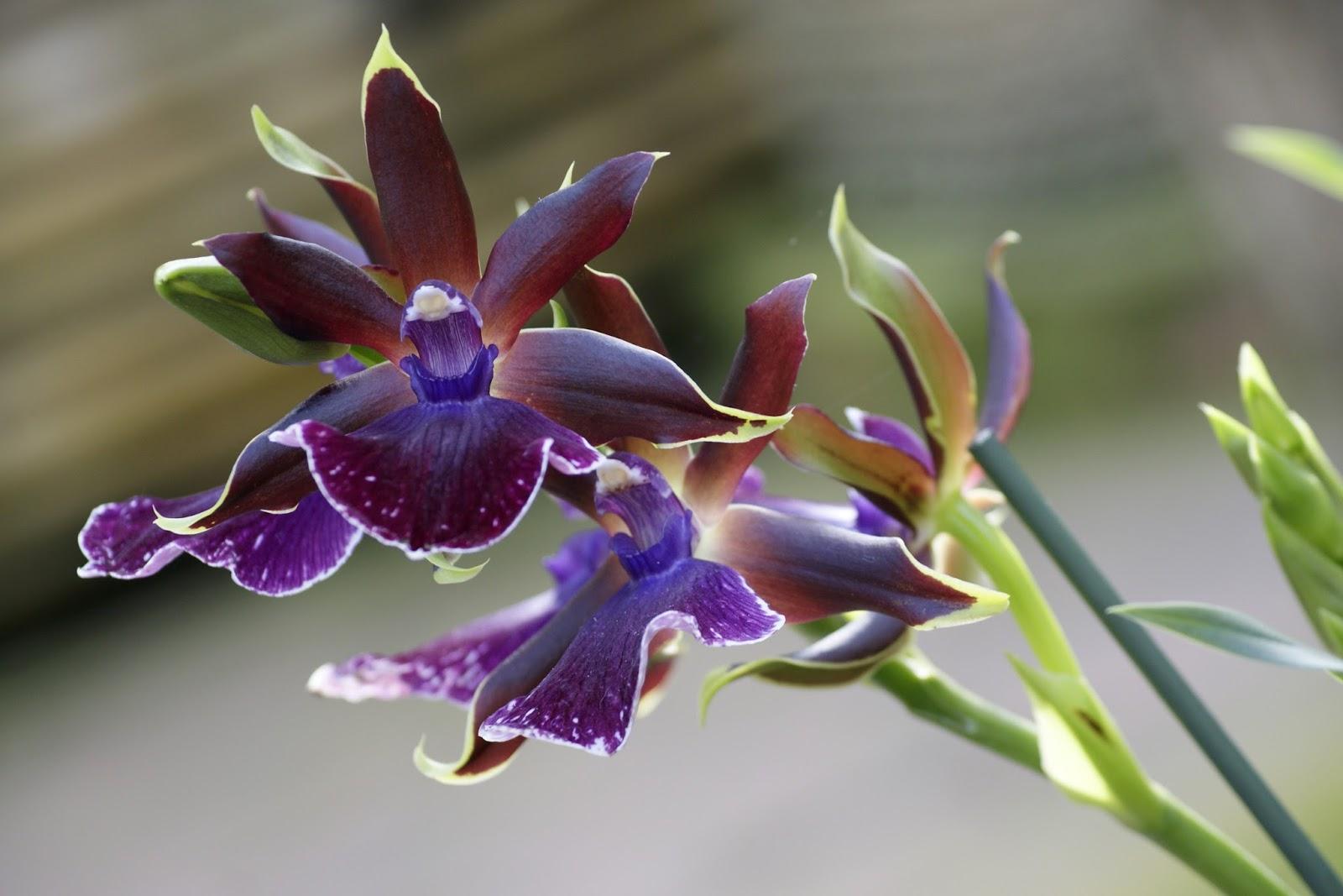 orchidee 7 luttelgeest