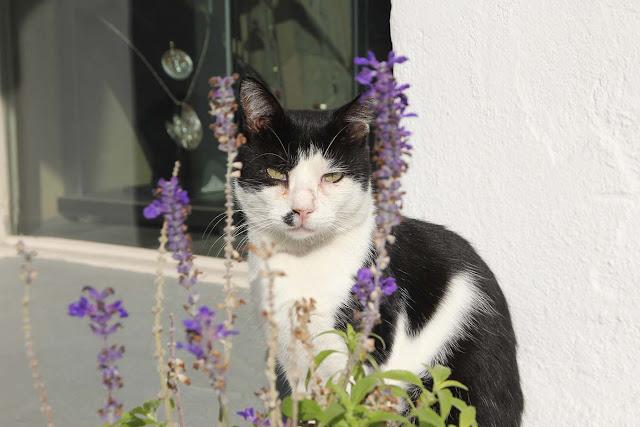 les chats de l'ile de paros