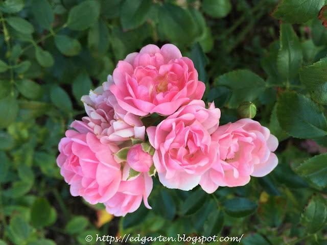 Rosen blühend