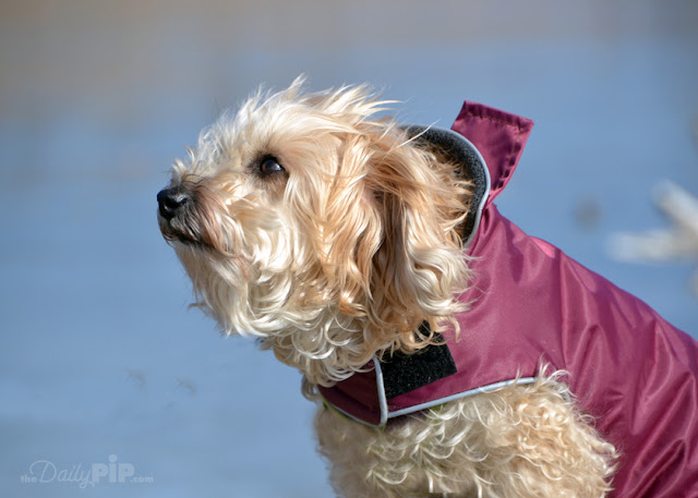Ruby enjoys a winter walk in her red jacket and looks up at the sky