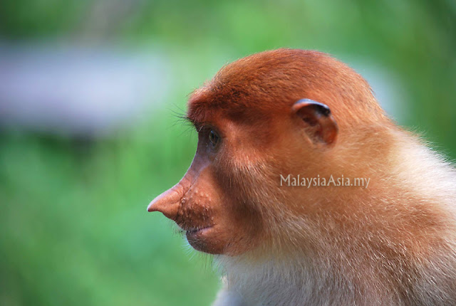 Side Profile Proboscis Monkey