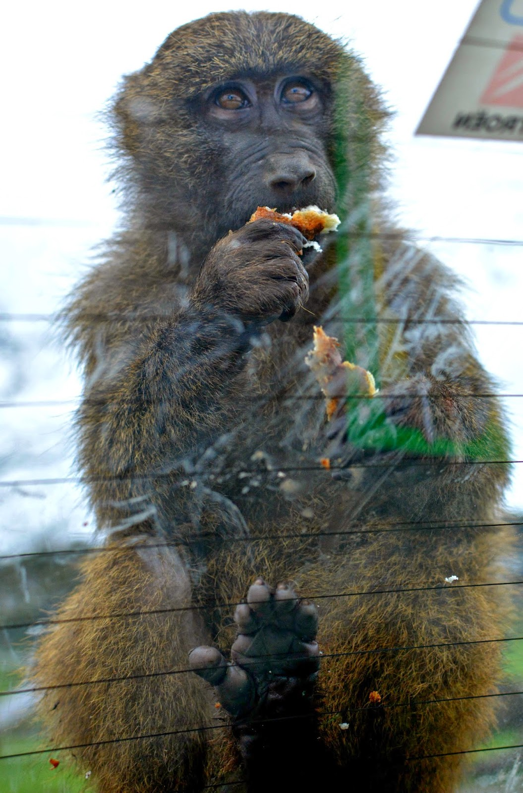 Knowsley Safari Park Monkeys