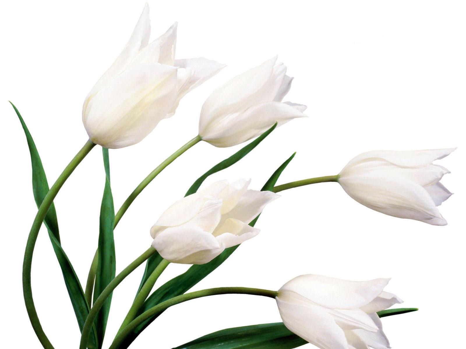 Flower White Background Structure Flower