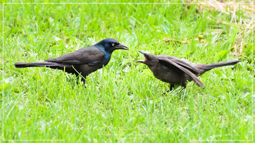 Common Grackles - adult with juvenile. Copyright © Shelley Banks, All Rights Reserved.