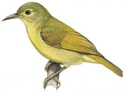 Deleornis fraseri