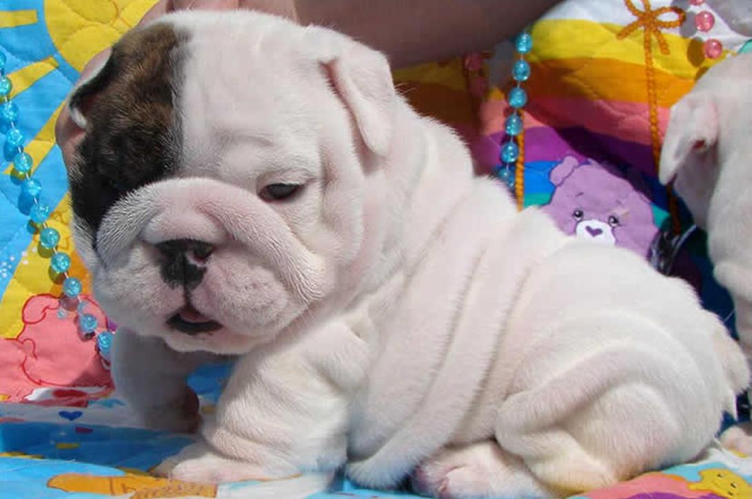 Cute Puppy Dogs: cute english bulldog puppies