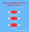 Muscle Building Process After Exercise