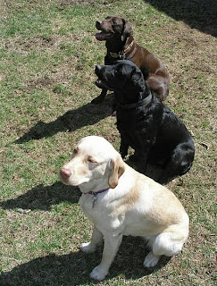 Colour of Labrador Retriever