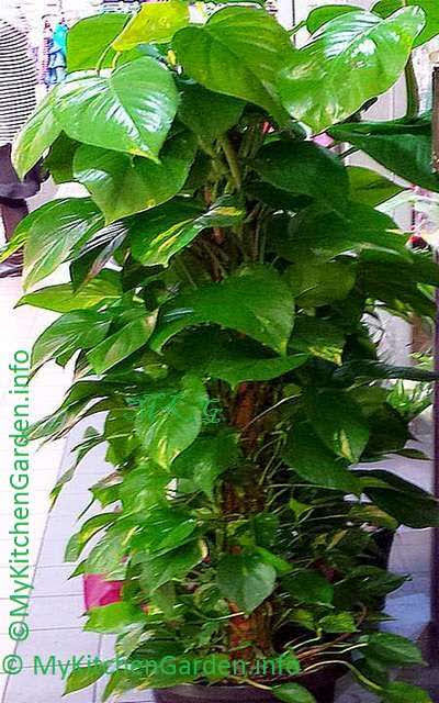 how to plant grow and care money plant