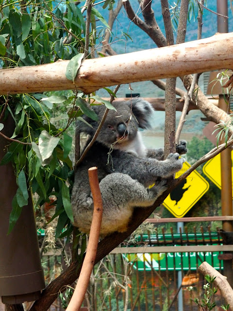 Koala in the Australia exhibit of Ocean Park, Hong Kong