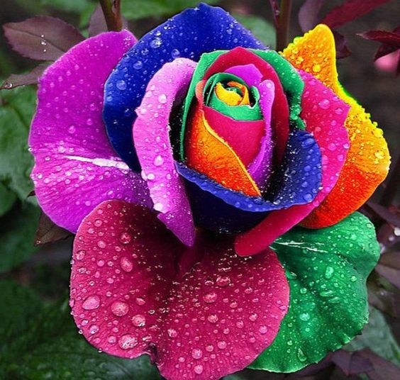 Rainbow rose for What are rainbow roses