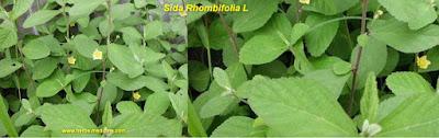 Uric acid use Sida rhombifolia