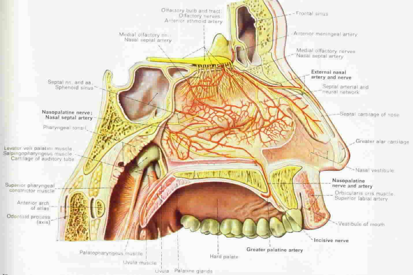 human anatomy nose diagram coordstudenti