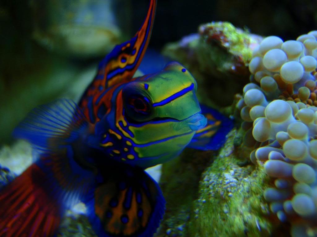 Cute Pet Dogs Wallpapers Aquarium Fish Mandarin Fish Animals Library