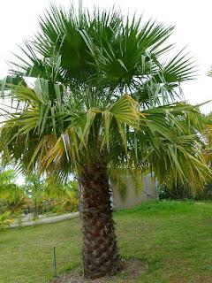 Livistona nitida - Palmier de Carnavon