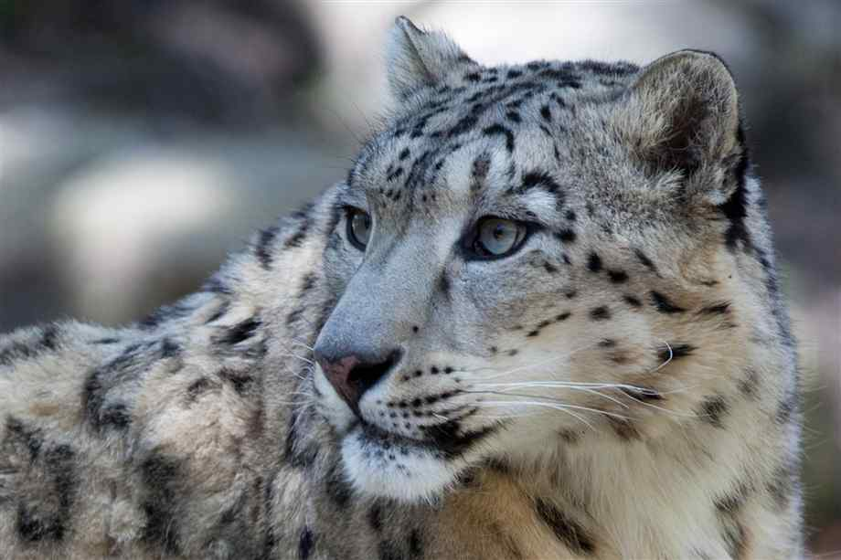 Snow leopard face side - photo#10
