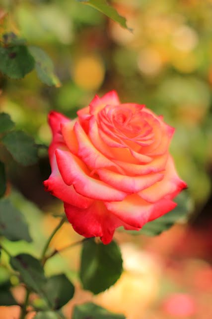 Bright Coral Rose - Flower Photography by Mademoiselle Mermaid