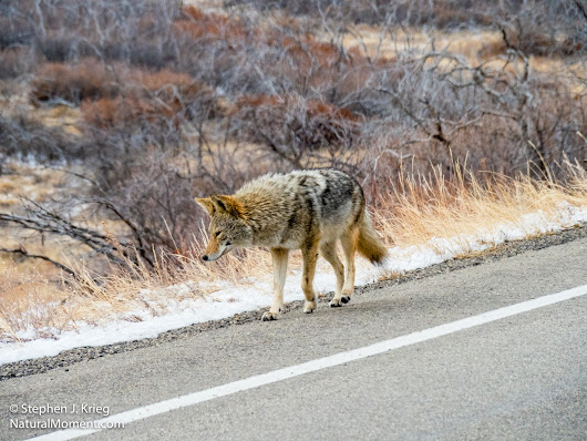 Icing On The Day: Coyote
