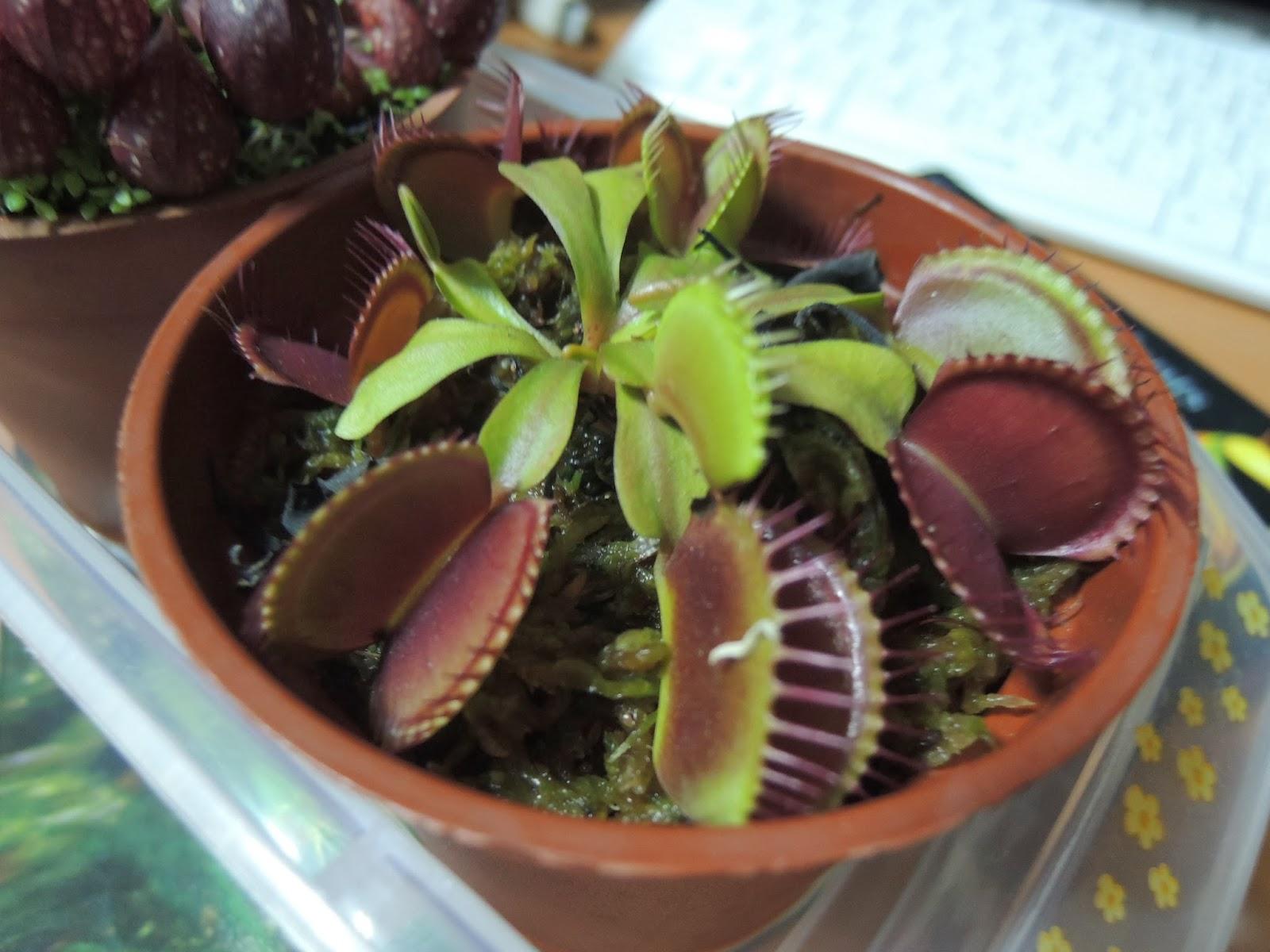 咚咚的食蟲與種子花園: 食蟲植物首PO-捕蠅草環境與幾種瓶子草與捕蠅草園藝種