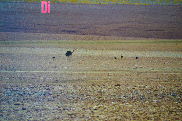 Avestruz na Rota do Deserto do Atacama